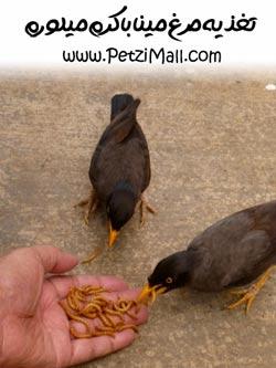 تغذیه مرغ مینا با میلورم
